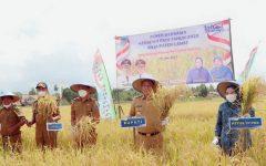 Bupati Lahat Panen Padi Bersama PATB di Desa Tanjung Payang
